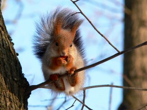 squirrel_-sciurus_vulgaris--8.jpg